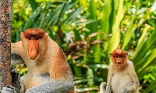 世界上鼻子最长的猴子_WWW.171ZZ.NET