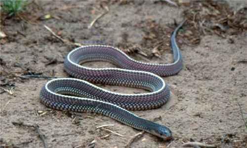 菲律宾眼镜蛇_WWW.171ZZ.NET