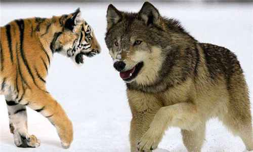 世界上最大的狼是什么_WWW.171ZZ.NET