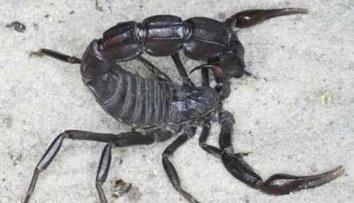 世界上最毒的蝎子_WWW.171ZZ.NET