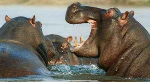河马是什么动物类型_WWW.171ZZ.NET