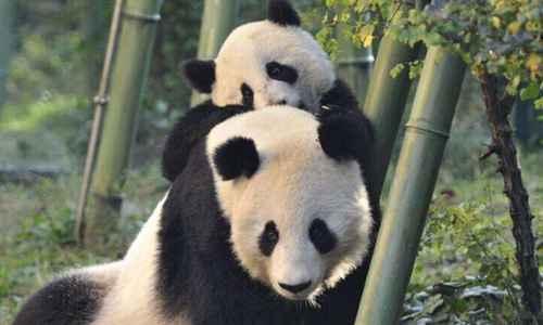 熊猫的祖先是什么动物_WWW.171ZZ.NET