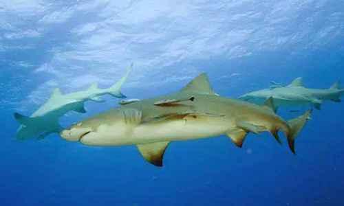 柠檬鲨为什么叫柠檬鲨_WWW.171ZZ.NET