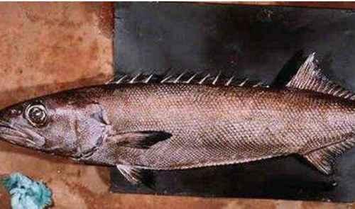 最常见的棘鳞蛇鲭油鱼_WWW.171ZZ.NET