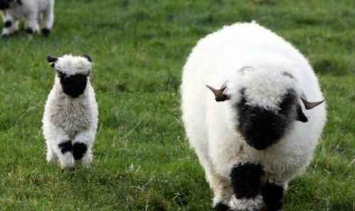 世界上最可爱的羊_WWW.171ZZ.NET