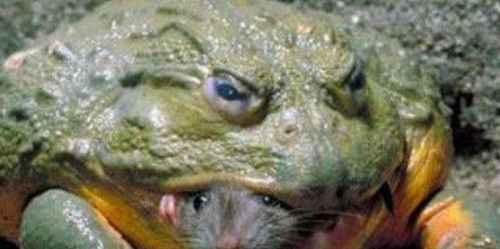世界上最大的水蛙_WWW.171ZZ.NET