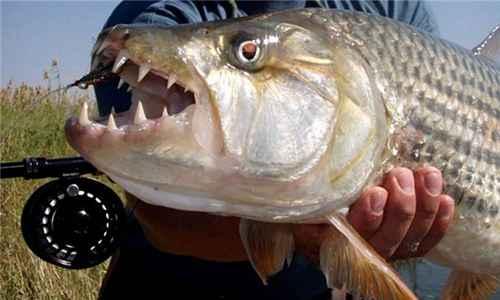 黄金猛鱼是什么样的鱼_WWW.171ZZ.NET