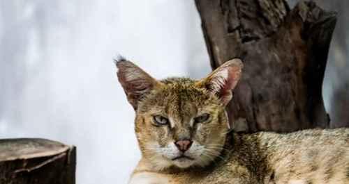 亚洲十大最神秘的猫科动物_WWW.171ZZ.NET