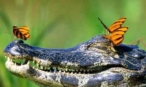凯门鳄图片_WWW.171ZZ.NET