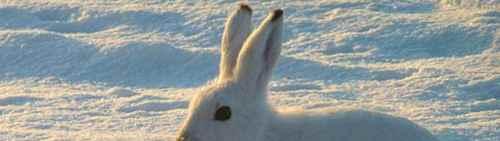 雪兔可能会出现在我国的哪个区域?_WWW.171ZZ.NET