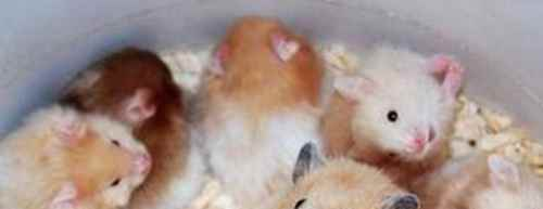 仓鼠公母怎么分 仓鼠公母可以一起养吗_WWW.171ZZ.NET