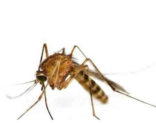 雌蚊子吸血雄蚊子吃什么?_WWW.171ZZ.NET