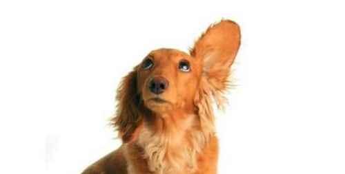 狗狗耳朵发炎怎么办?_WWW.171ZZ.NET