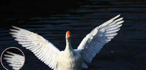 羽毛球的鹅翎需出自同一侧翅膀吗?_WWW.171ZZ.NET