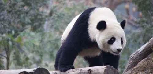 大熊猫为什么会变成吃素的动物?_WWW.171ZZ.NET