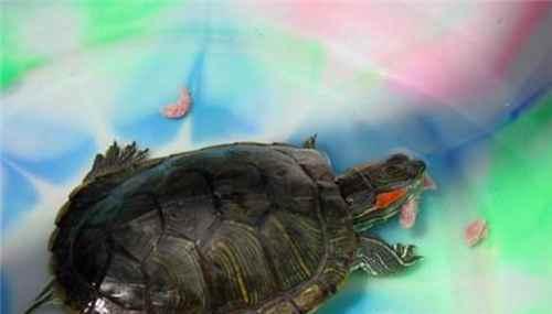 乌龟要怎么养才养的久_WWW.171ZZ.NET