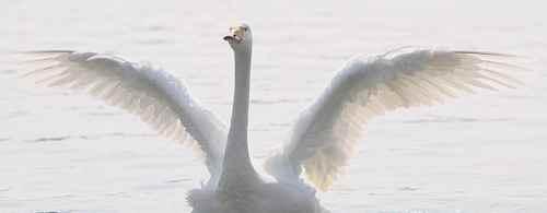 为什么天鹅在高空中飞不怕缺氧?_WWW.171ZZ.NET