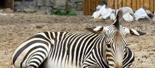 斑马是白底黑纹还是黑底白纹?_WWW.171ZZ.NET