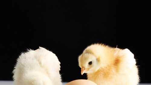 为什么小鸟自己能啄破蛋壳?_WWW.171ZZ.NET
