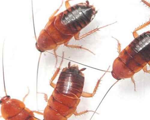 蟑螂会靠近熟睡的人吗?_WWW.171ZZ.NET