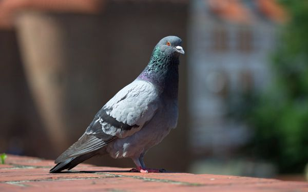 呆萌可爱的鸽子图片_WWW.171ZZ.NET