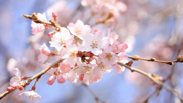 唯美的粉色樱花图片_WWW.171ZZ.NET