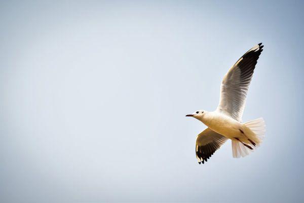 展翅飞翔的鸽子图片_WWW.171ZZ.NET