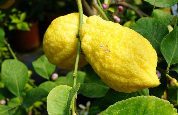 清新的绿色和黄色的柠檬图片_WWW.171ZZ.NET