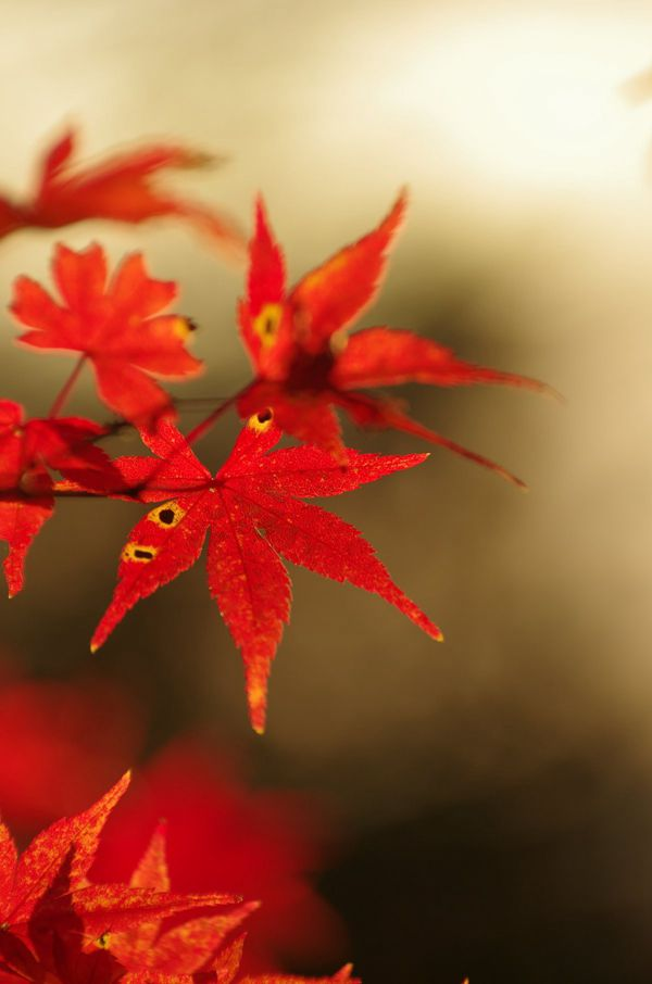 艳丽娇媚的红色枫叶图片_WWW.171ZZ.NET