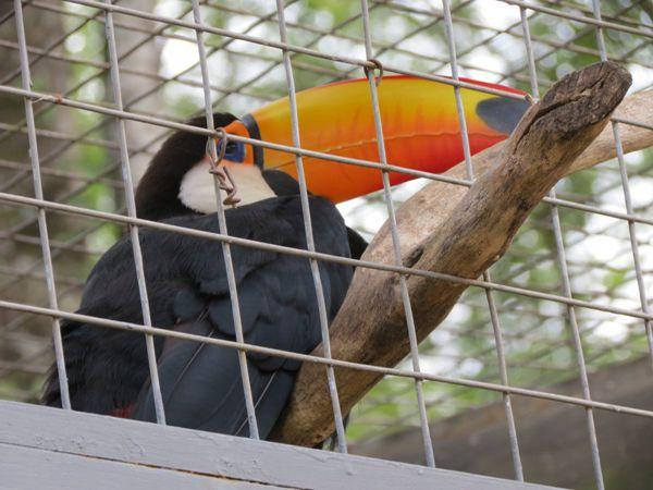 长相奇特的巨嘴鸟图片_WWW.171ZZ.NET