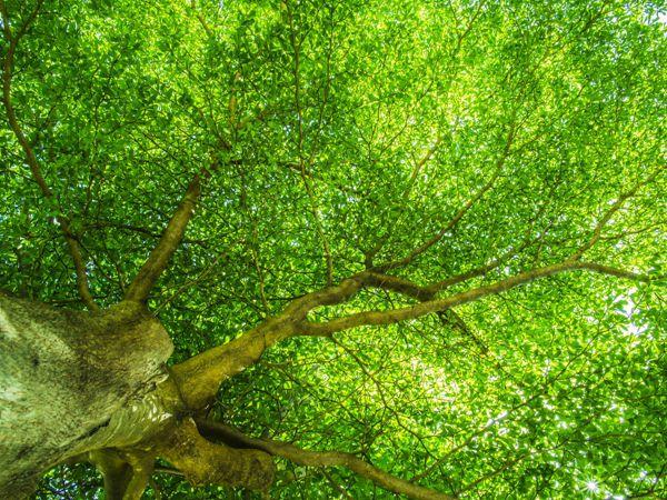 阳光下枝繁叶茂的大树图片_WWW.171ZZ.NET