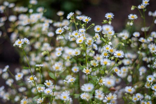 一簇白色的雏菊花图片_WWW.171ZZ.NET