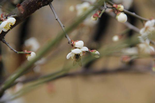 雪白唯美的梨花图片_WWW.171ZZ.NET