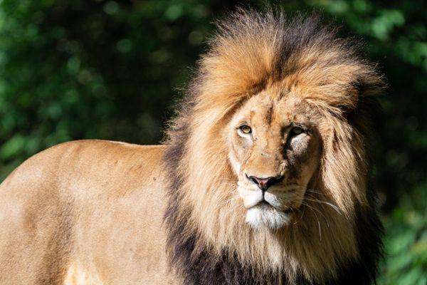 凶猛霸气的野生雄狮图片_WWW.171ZZ.NET