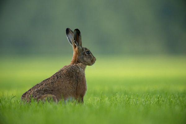 竖起双耳的灰色兔子图片_WWW.171ZZ.NET