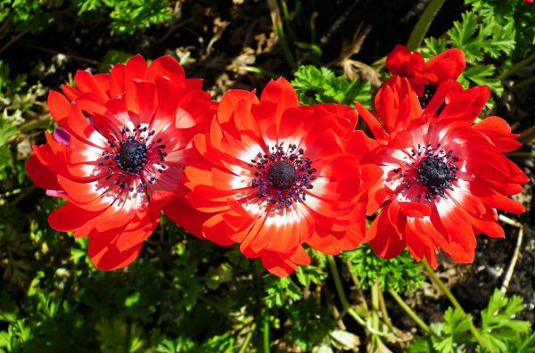 红色海葵花朵图片_WWW.171ZZ.NET
