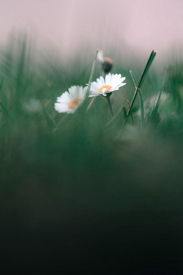 非主流小雏菊花朵图片_WWW.171ZZ.NET