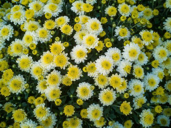 黄色小雏菊花朵图片_WWW.171ZZ.NET