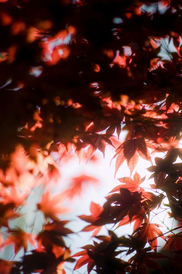 秋季红枫叶图片_WWW.171ZZ.NET