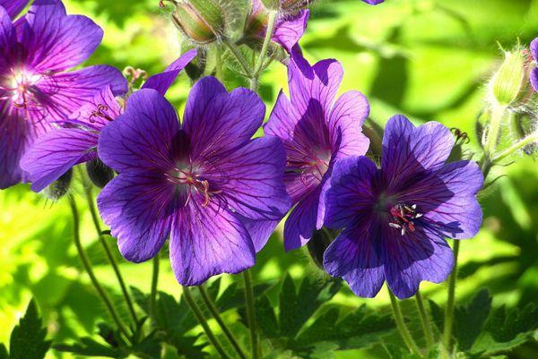 艳丽紫色天竺葵图片_WWW.171ZZ.NET