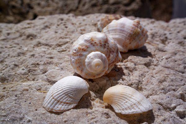 漂亮海螺贝壳图片_WWW.171ZZ.NET