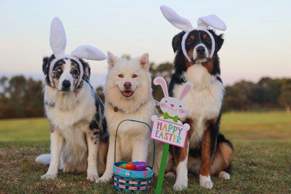 澳大利亚牧羊犬可爱图片_WWW.171ZZ.NET