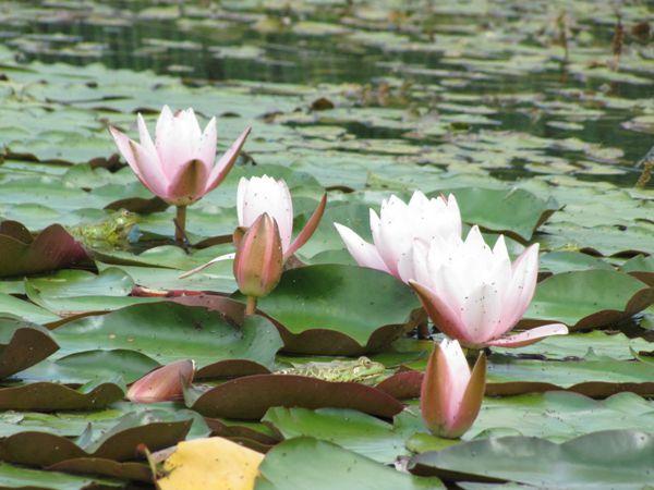 池塘莲花图片欣赏_WWW.171ZZ.NET